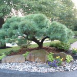 D3 Selective Pruning Tabletop Pine After